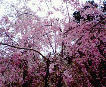 ミホミュージアムの枝垂れ桜