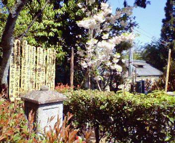 二代目吉野太夫の墓と松月桜