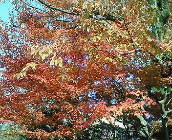 紅葉の盛り 北白川疎水沿いの紅葉