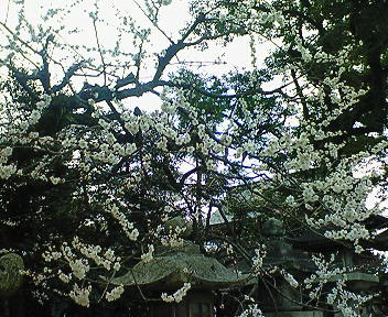 北野天満宮境内の白梅