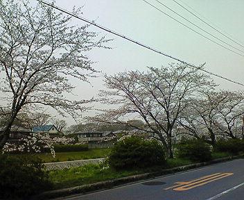 高野川沿いの桜