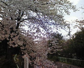 北白川疏水と桜