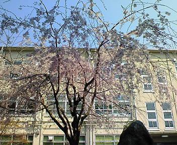 修学院中学校の桜