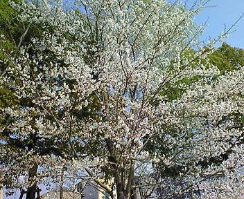 時折桜を眺めながら