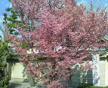 長徳寺の彼岸桜