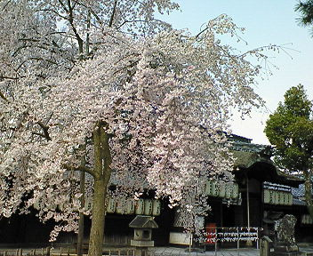 宇治・県神社の木の花桜