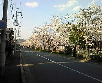 北白川疏水沿いの桜並木