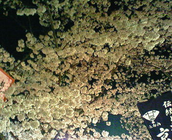 円山公園の夜桜1