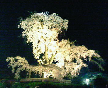 円山公園の夜桜3
