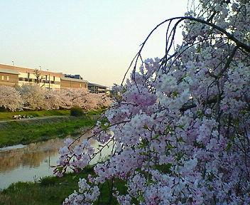 桜と高野川