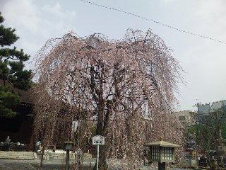 千本釈迦堂の枝垂れ桜(<br />  おかめ桜)
