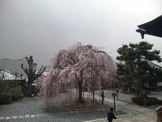 千本釈迦堂の枝垂れ桜(<br />  おかめ桜)2