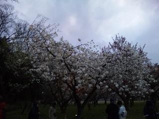 二条城桜のライトアップ1