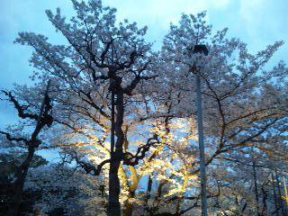 二条城桜のライトアップ8