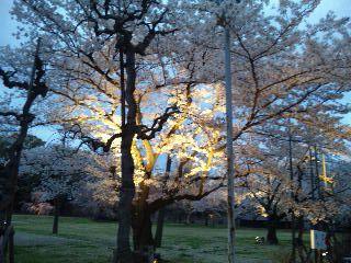 二条城桜のライトアップ9