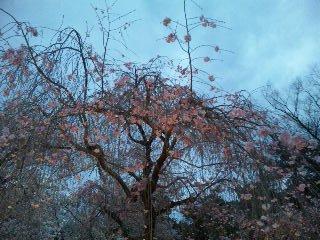 二条城桜のライトアップ10