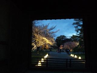 二条城桜のライトアップ12
