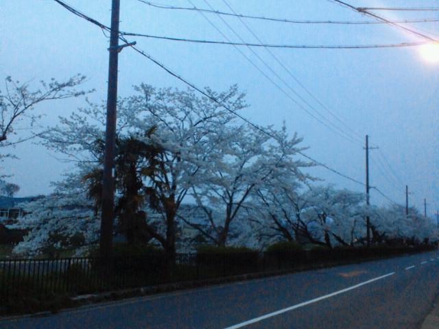 高野川沿いの桜並木・夕景