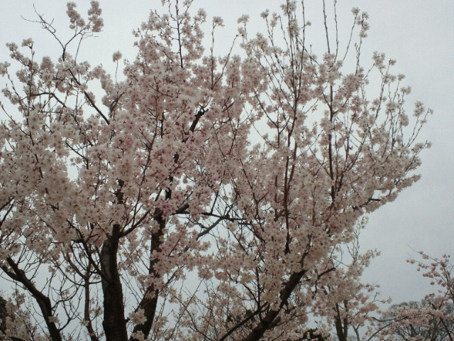 金沢城三の丸・桜の園(3)
