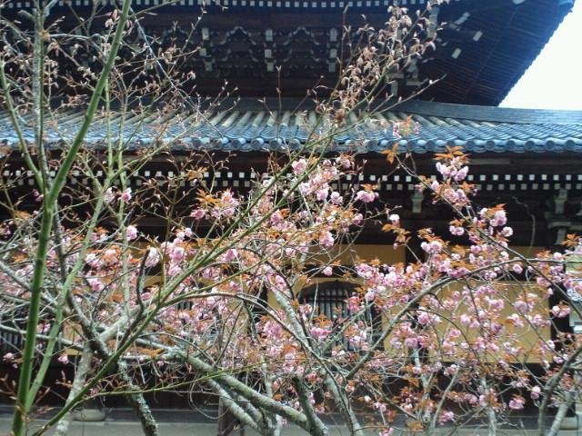 南禅寺の八重桜