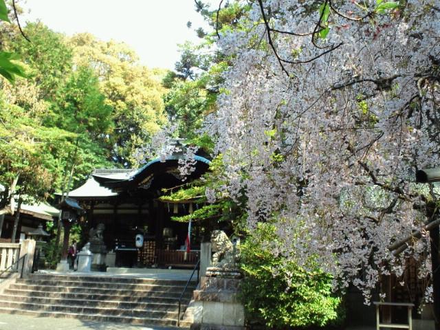 名残の桜() <br />  岡崎神社の桜
