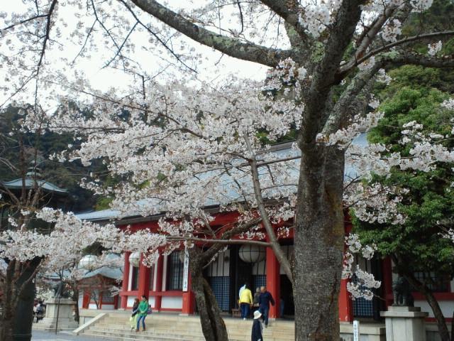 名残の桜() <br />  鞍馬寺の桜1