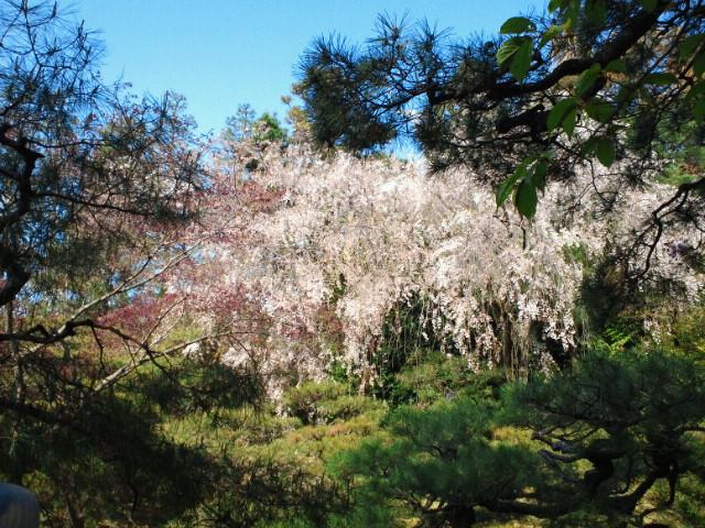 名残の桜(14) <br />  平安神宮神苑の枝垂れ桜4