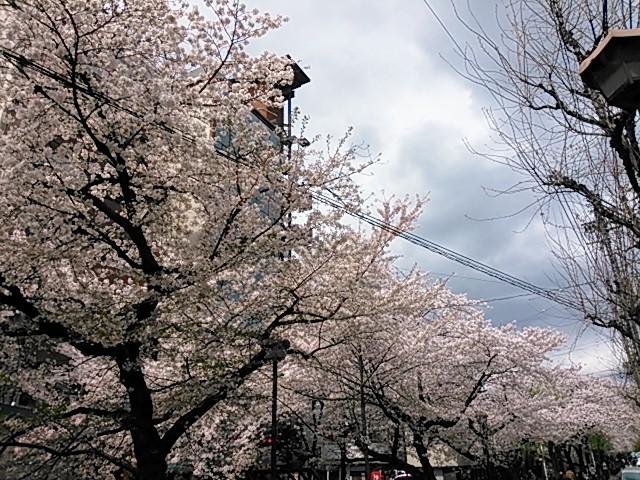 京都木屋町桜並木