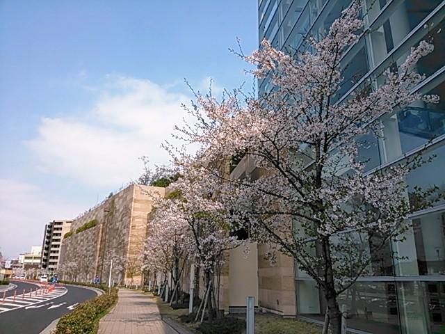 阪急西宮ガーデンズ沿いの桜並木