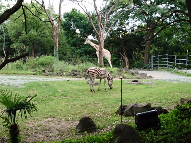 天王寺動物園 キリンとシマウマ