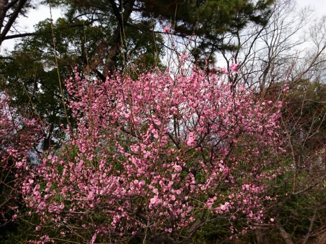 大阪城公園内・豊國神社の紅梅