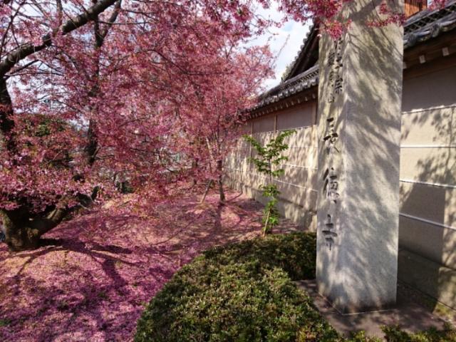 長徳寺 おかめ桜のレッドカーペット