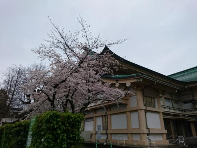 京都市美術館別館と桜