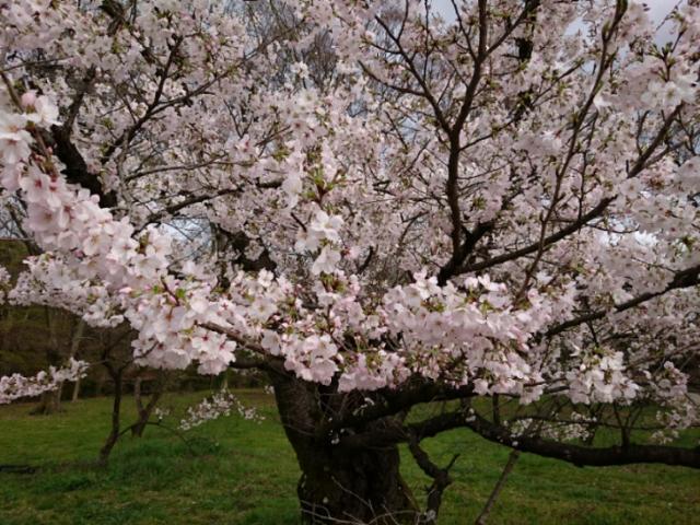 京都府立植物園の桜2017(1)
