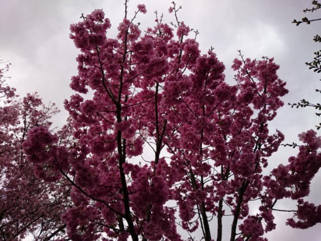 京都府立植物園の桜2017(3)