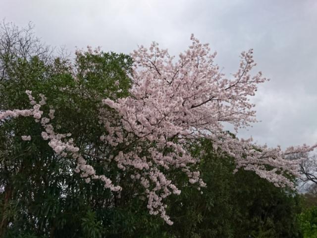 京都府立植物園の桜2017(4)