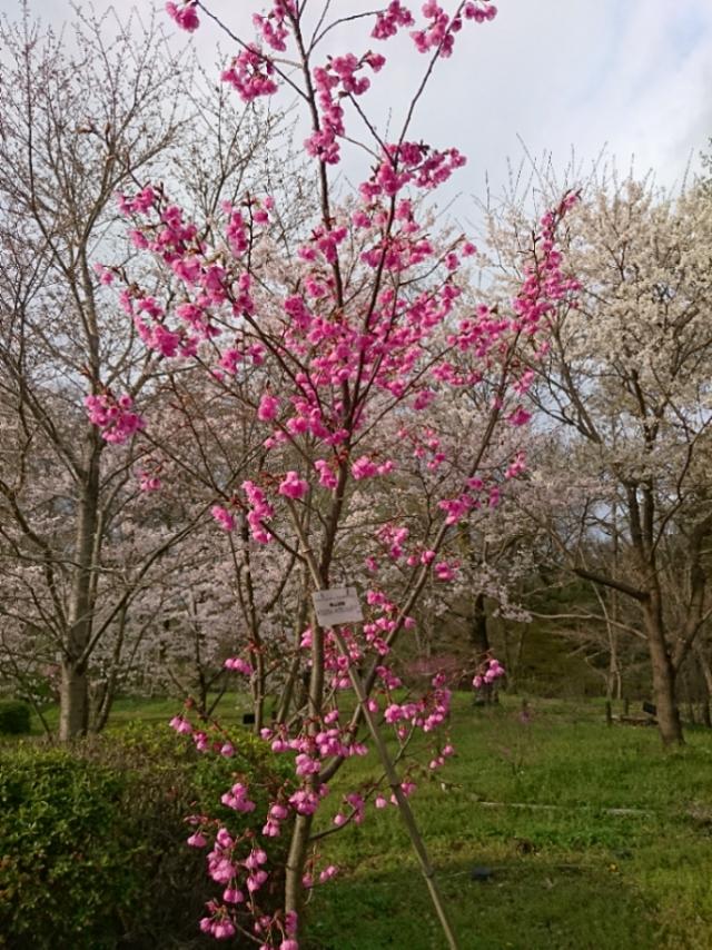 京都府立植物園の桜2017(6)
