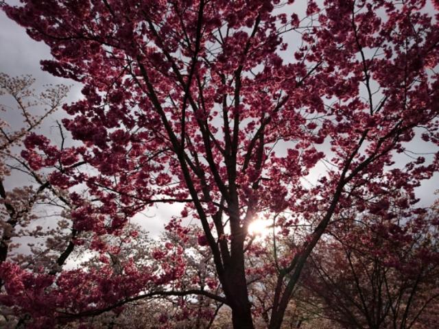 京都府立植物園の桜2017(7)
