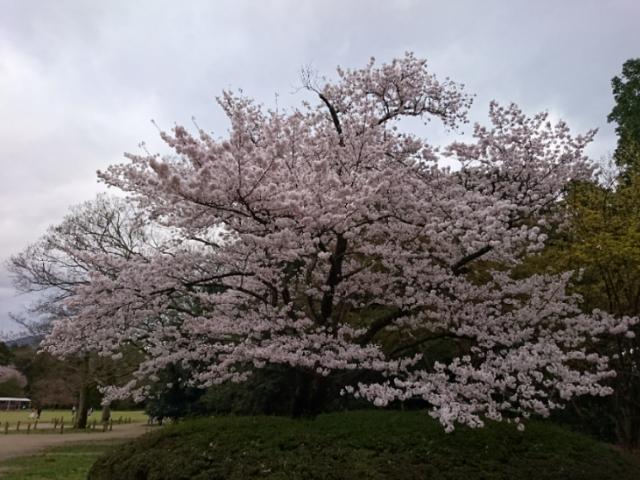京都府立植物園の桜2017(8)