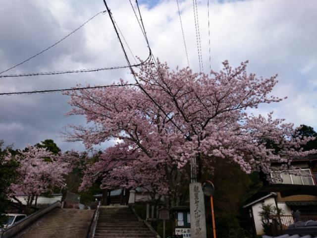 本願寺北山別院の桜2017