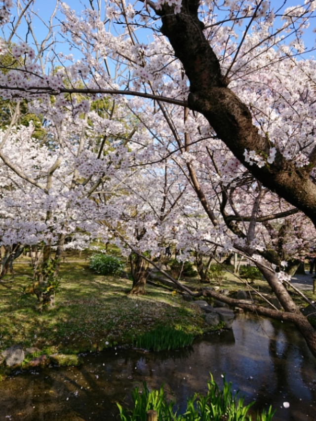京都 渉成園の桜(1)