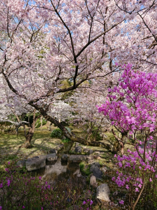 京都 渉成園の桜(3)
