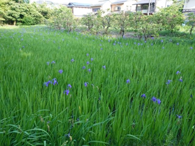 大田神社 カキツバタ野生群落(4)