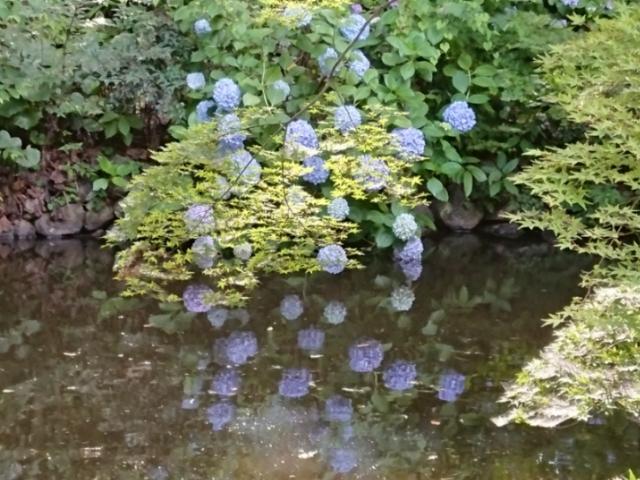 真宗大谷派岡崎別院の紫陽花