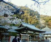 熊野若王子神社の桜