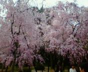 八重枝下桜