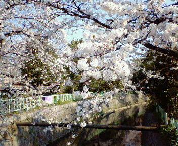 北白川疏水沿いの桜