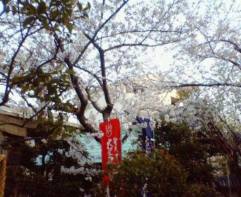 浦江聖天の桜