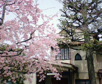 鴨東教会と枝垂れ桜