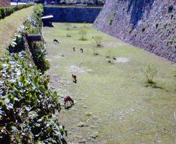 本丸空堀の鹿